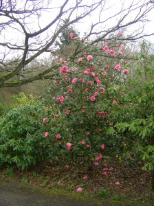 camellia in bloom 5/4/2015